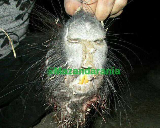 کشتن موجود عجیب الخلقه در جنگل های مازندران+عکس
